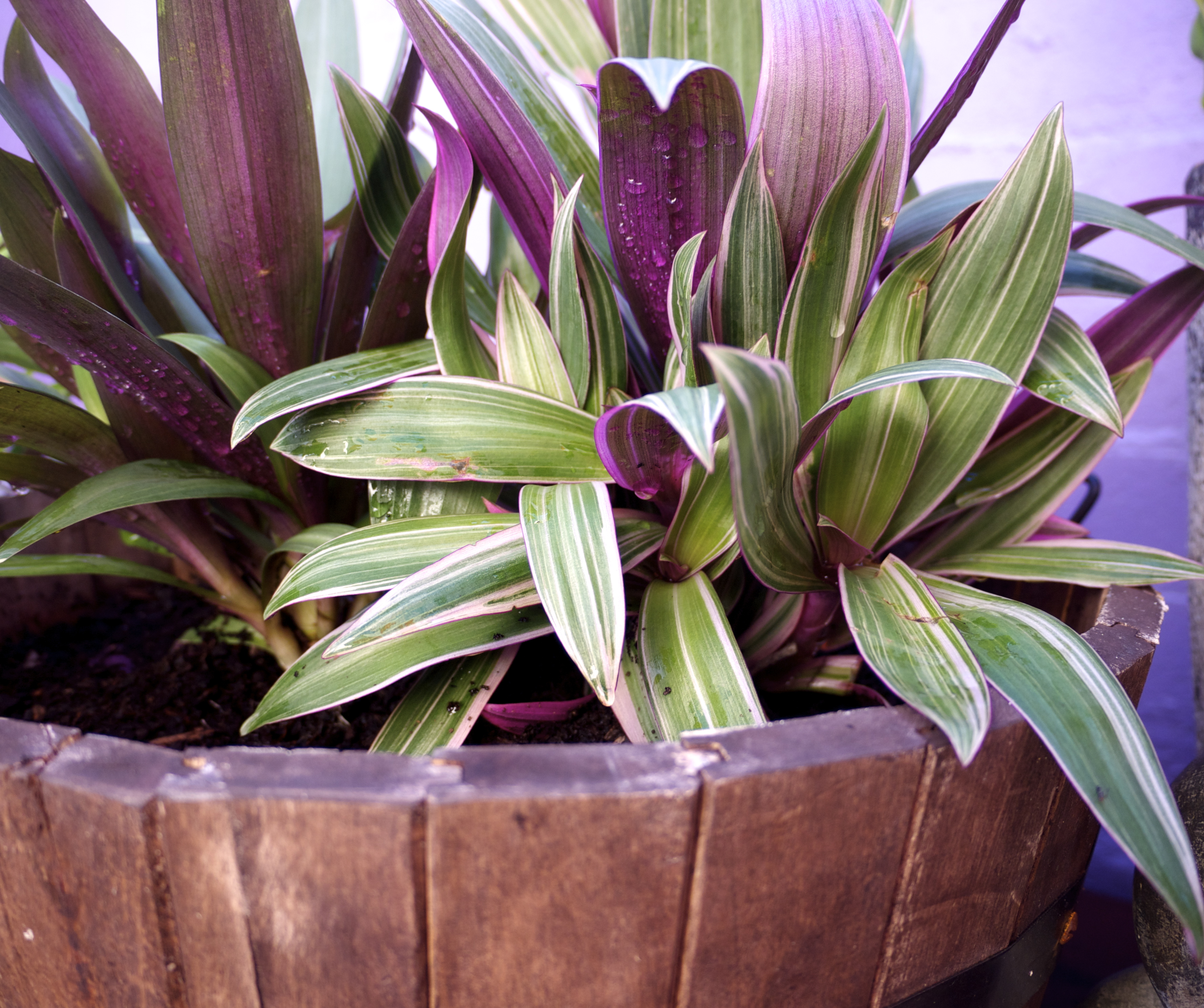 Low Maintenance Garden - Moses in Cradle and Razmatazz