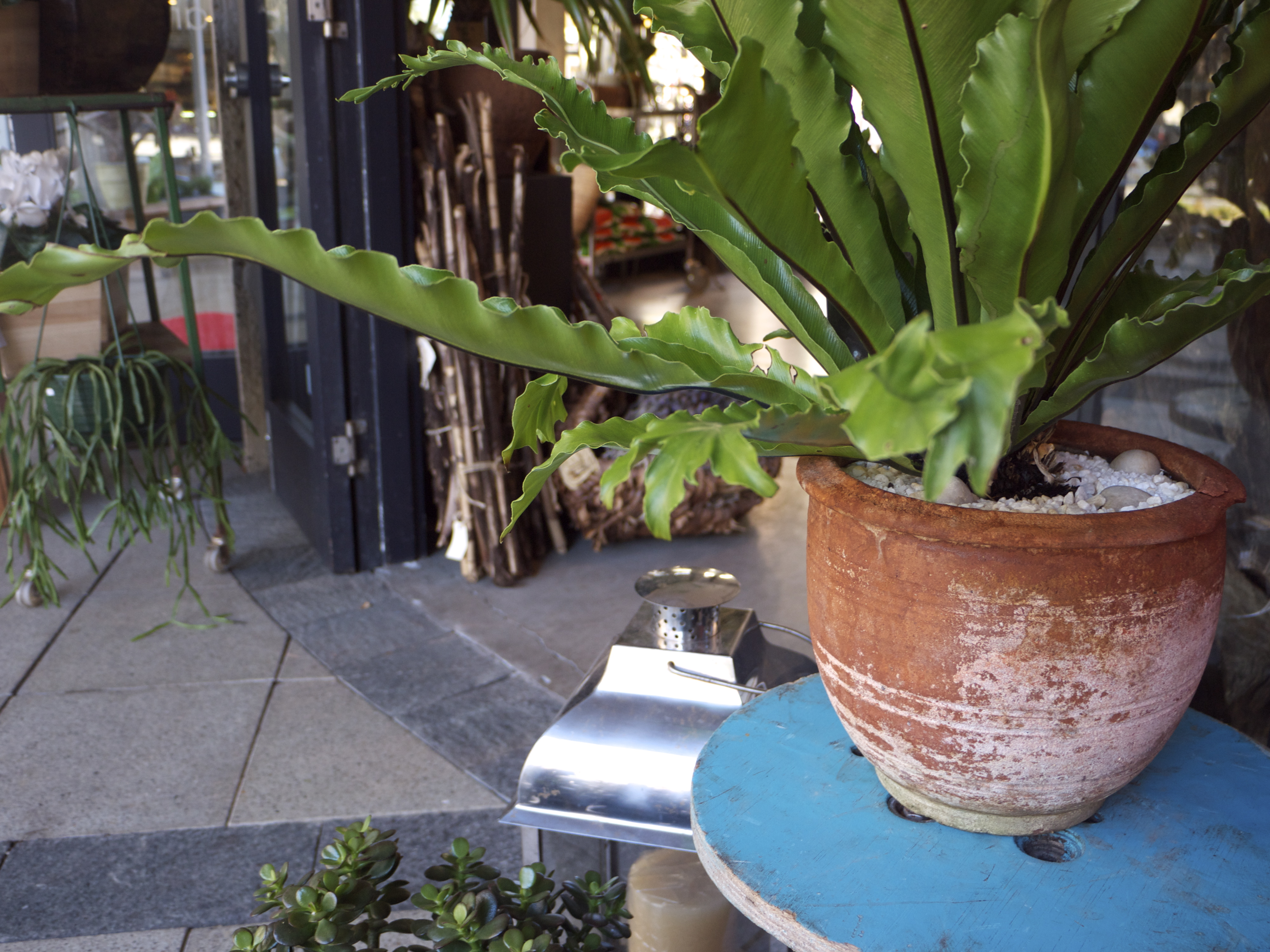 Plant on Spindle - Garlands Florist, Surry Hills